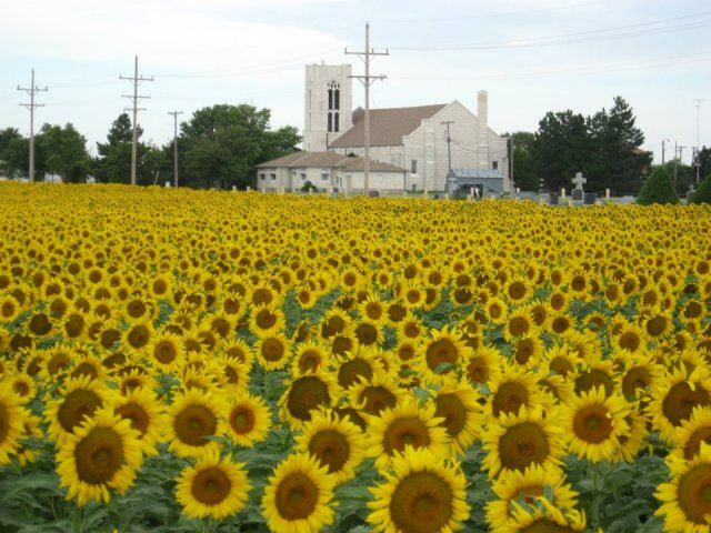 Sunflower Field in Collyer